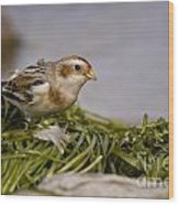 Snow Bunting Pictures 87 Wood Print