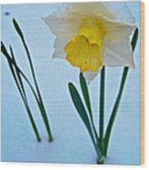 Snow-capped Daffodil On May 21 Near Des Chutes National Forest-or  Wood Print