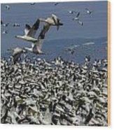 Snow Geese At Skagit Wood Print