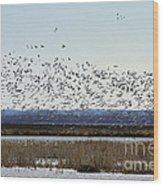 Snow Geese Taking Off At  Loess Bluffs National Wildlife Refuge Wood Print