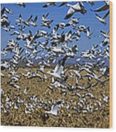 Snow Goose Flock Taking Off Wood Print