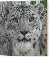 Snow Leopard 5 Wood Print