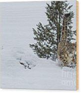 Snow Leopard Periscope Wood Print