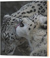 Snow Leopards Wood Print
