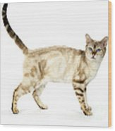 Snow Marble Bengal Cat Wood Print