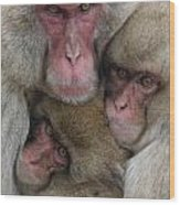 Snow Monkey And Young Wood Print