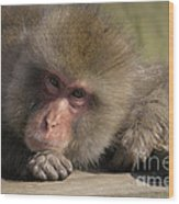 Snow Monkeys-just Hanging Out Wood Print