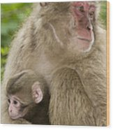 Snow Monkeys, Mother With Her Baby Wood Print
