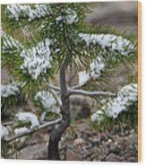 Snow On Baby Pine Tree In Yellowstone Wood Print