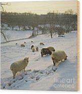 Snow Sheep  Wood Print