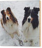 Snow Shelties Wood Print