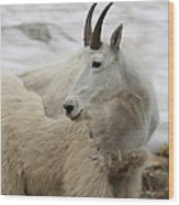 Snow White Mountain Goat Wood Print