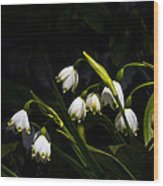Snowdrops And Dark Background Wood Print