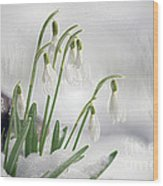 Snowdrops On Ice Wood Print