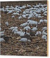 Snows And Aleutians Feeding Wood Print
