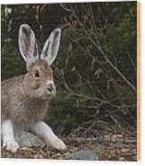 Snowshoe Hare Changing Colors Wood Print