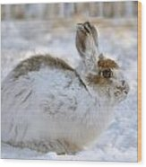 Snowshoe Hare In Winter Wood Print