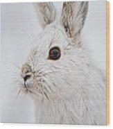 Snowshoe Hare Pictures 128 Wood Print
