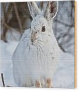 Snowshoe Hare Pictures 130 Wood Print