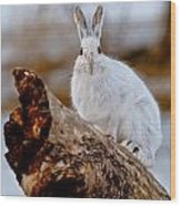 Snowshoe Hare Pictures 131 Wood Print