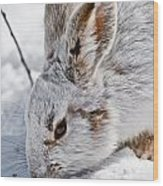 Snowshoe Hare Pictures 133 Wood Print