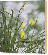 Snowy Daffodils Wood Print