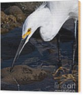 Snowy Egret Dribble Wood Print
