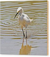 Snowy Egret Looking For Fish Wood Print