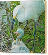 Snowy Egret Tending Young Wood Print