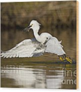 Snowy Egret With Lunch Wood Print