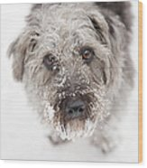 Snowy Faced Pup Wood Print