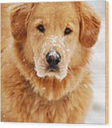 Snowy Golden Retriever Wood Print by Christina Rollo