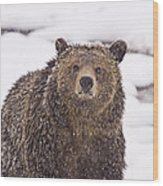 Snowy Grizzly Wood Print
