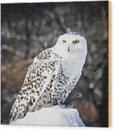 Snowy Owl Cold Stare Wood Print