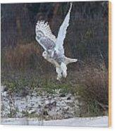 Snowy Owl In Florida 10 Wood Print