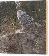 Snowy Owl In Florida 15 Wood Print