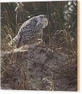 Snowy Owl In Florida 16 Wood Print