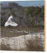 Snowy Owl In Florida 18 Wood Print