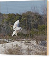 Snowy Owl In Florida 19 Wood Print
