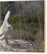 Snowy Owl In Florida 20 Wood Print