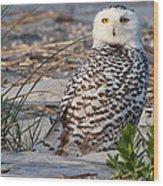 Snowy Owl In Florida 24 Wood Print