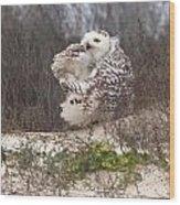 Snowy Owl In Florida 4 Wood Print