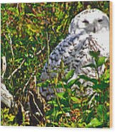 Snowy Owl In Salmonier Nature Park-nl Wood Print