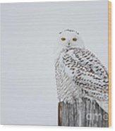 Snowy Owl Perfection Wood Print