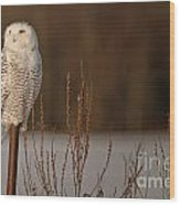 Snowy Owl Pictures 52 Wood Print