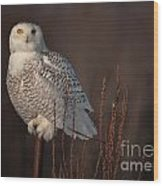 Snowy Owl Pictures 64 Wood Print