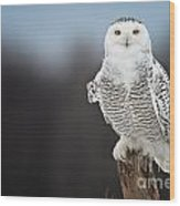 Snowy Owl Pictures 69 Wood Print
