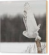 Snowy Owl Pictures 80 Wood Print