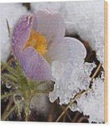 Snowy Pasqueflower Wood Print