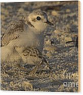 Snowy Plover Transformation Into A Spiderbird 1 Wood Print